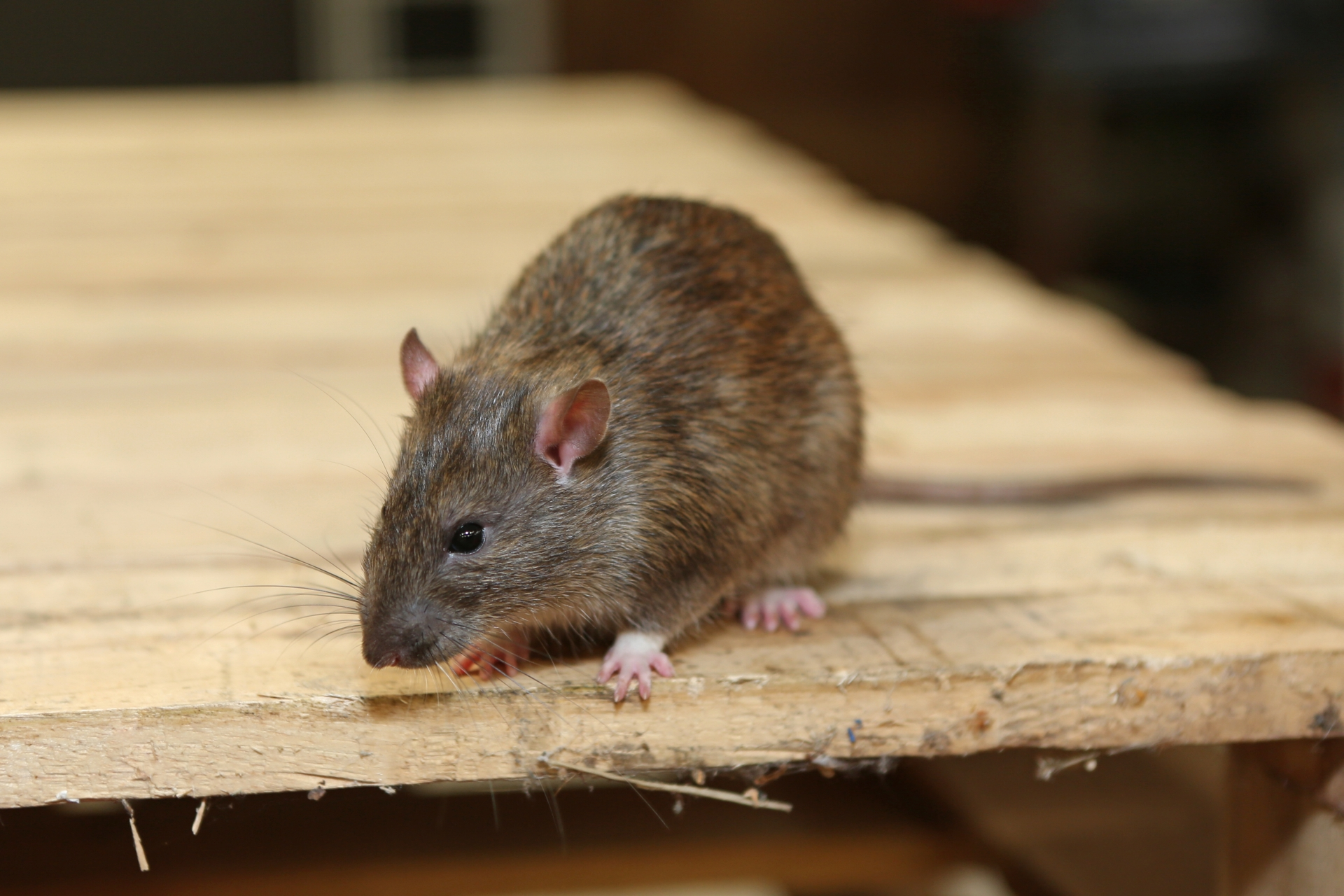 Rat Control, Pest Control in Tottenham, N17. Call Now 020 8166 9746