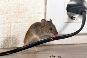 Mice Control, Pest Control in Tottenham, N17. Call Now 020 8166 9746