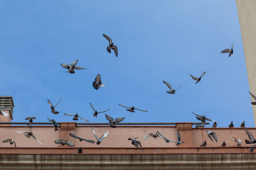 Pigeon Pest, Pest Control in Tottenham, N17. Call Now 020 8166 9746