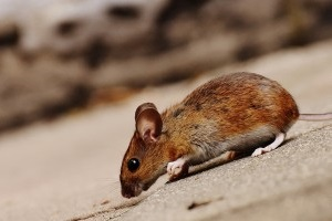 Mouse extermination, Pest Control in Tottenham, N17. Call Now 020 8166 9746